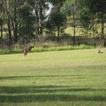 Kangaroos hanging out