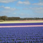 Flower field around Noordwijk