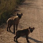 Hyenas near den