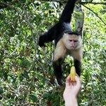 feeding the moneys bananas