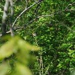 Blackburnian warbler (need a better zoom lens!)