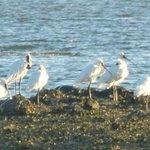 Royal Spoonbills at Aroha Island