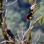 Mira una pareja de Tucanes desde el Mirador de La Torre