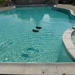 Ducks in outdoor pool