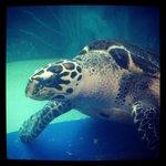 A sea turtle in the aquarium