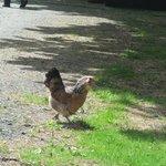 Chickens roam free here.