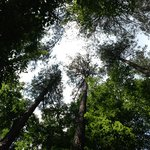 Looking up through tall trees