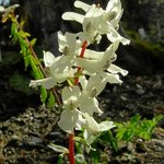 Hohler Lerchensporn, Corydalis cava