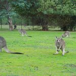 ' Welcome' kangaroos on the lawn.