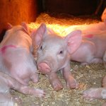 Piglets born most weeks down at Hardys Animal Farm