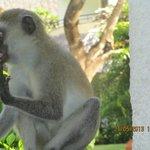 Die Monkeys kommen bis auf den Balkon, und auch ins Zimmer