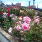 Munras roses in bloom