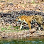 The huge Waghdou male strides along Teliya Lake