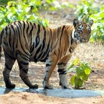 A tigress cub gets out of the waterhole