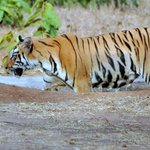 A Tigress cub wades in the waterhole