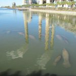 Adult and baby manatees
