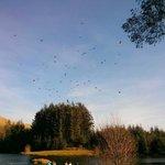 Red kite feeding time