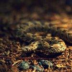 The nonvenomous Kukri snake.