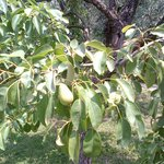 Sweer pears are getting ripe for the guests who will be ehre in July...gnam gnam...