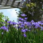 wisteria and irises