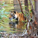 A tigress cub wading in the natural pool