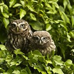 Little Owl and young Owlett