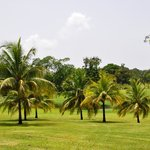 Palm Trees Along Golf Course