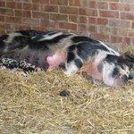 Piglets drinking milk