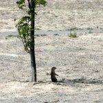Prairie dog in shade of tree
