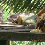 Large iguana on the bird feeding platform