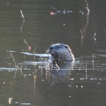 Otter fishing in the pond, Jericho Park