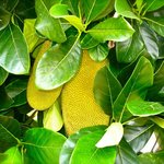 Jackfruit on the self guided tour