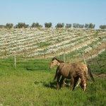 i nsotri cavalli nel vigneto biodinamico