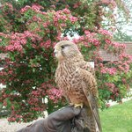 kestrel and blooms