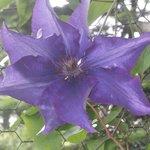 large purple clementia flower