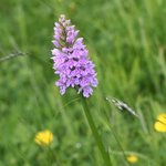 Common Spotted Orchid, in the grounds