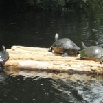 Turtles in the creek