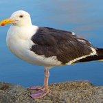 Oceanside Harbor Seagull