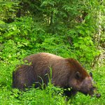 bear near Dawsons Creek