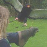A bataleur eagle swoops