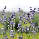 niagara lavender blooming in the field