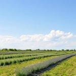 niagara lavender field