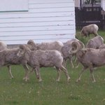 Herd of Big Horn Sheep Next Door