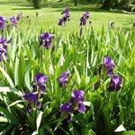 irises behind hotel