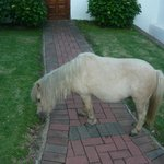 Shetland Pony on our doorstep