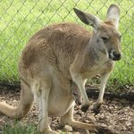 A sweet kangaroo with a joey or Sheila in her pouch!