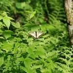 Swallowtail Butterfly on Ferns