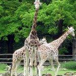 Rothschild-Giraffen