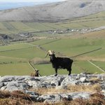 feral goats on Turlough