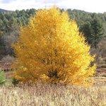 Our big tamarack tree in Autumn.